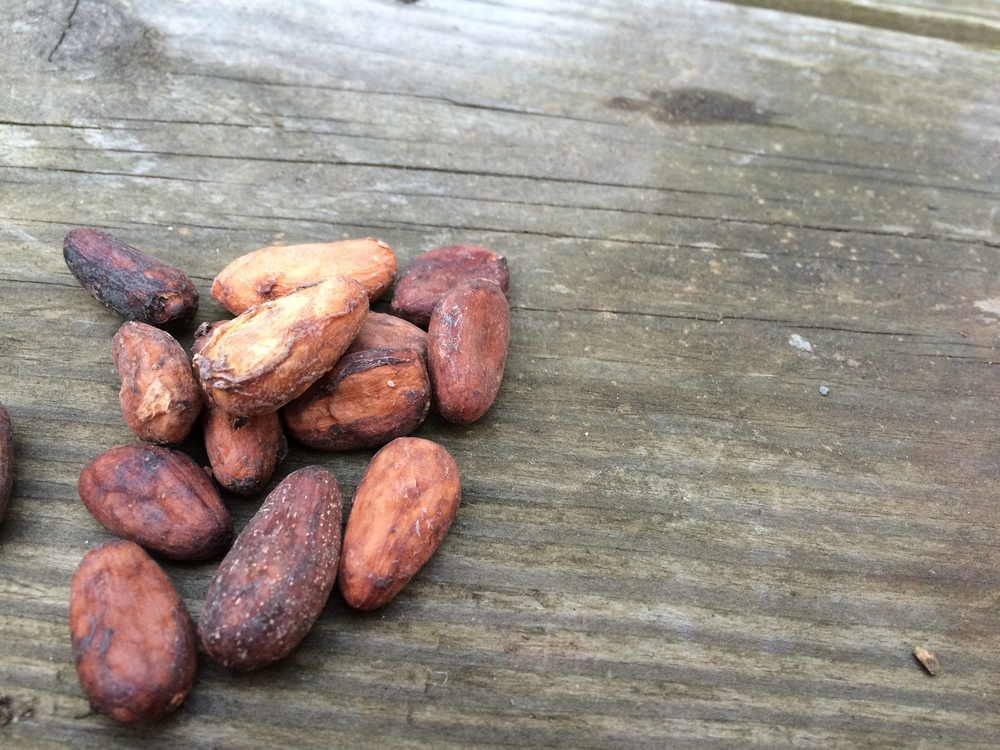 Raw cacao beans from Venezuela, sourced through Dandelion Chocolate.