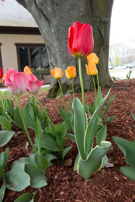 tulip explosion-10.jpg