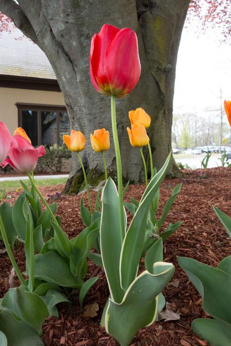 tulip explosion-9.jpg