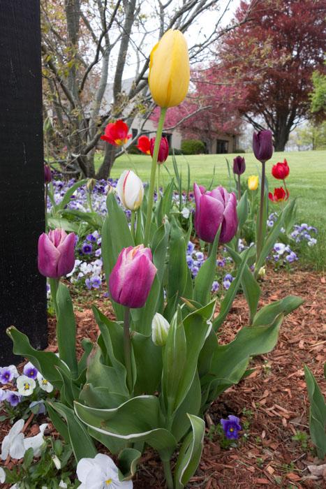 tulip explosion-6.jpg