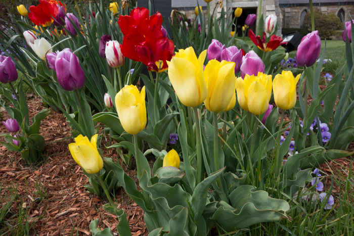tulip explosion-5.jpg