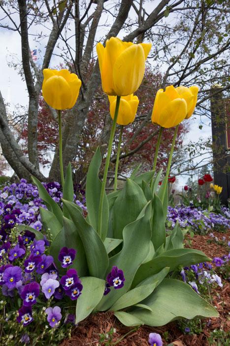 tulip explosion-4.jpg