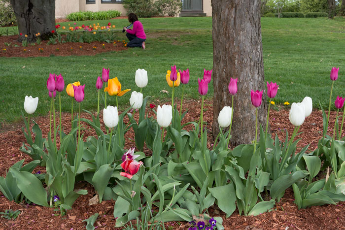 tulip explosion-2.jpg