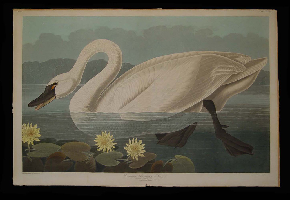 Audubon Swan Before.jpg