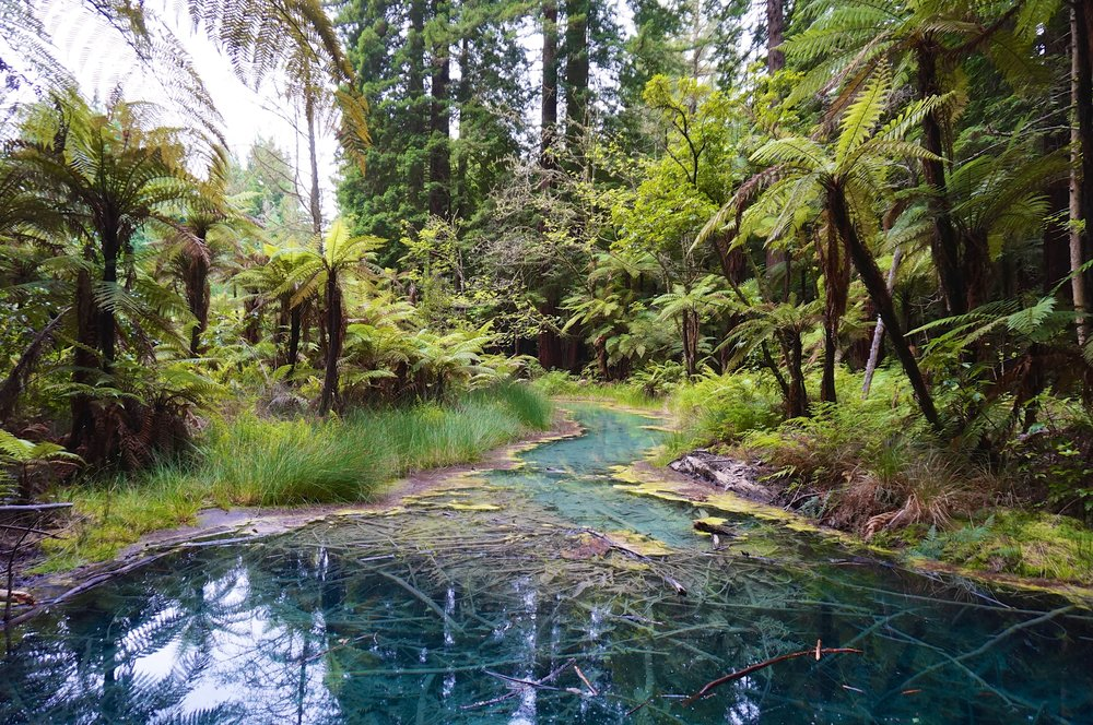 Whakarewarewa is a sprawling forest of redwoods. This water has been tinted blue by volcanic minerals