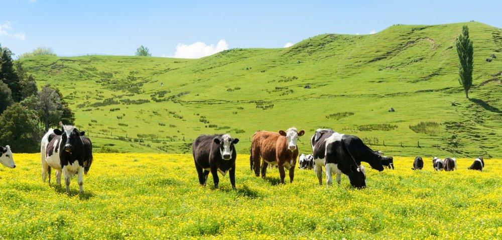 Waikato-Farmers.jpg