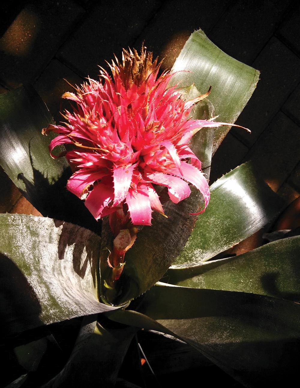 bromeliad.jpg