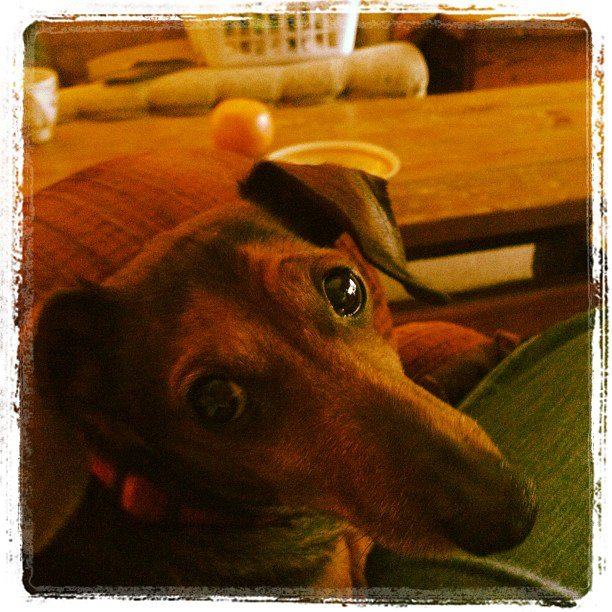 """Oscar"" is a 16 year old daschund and gets very anxious at the vet clinic.  In home vet care helps him stay relaxed and calm!"