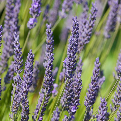 lavender vertical.jpg