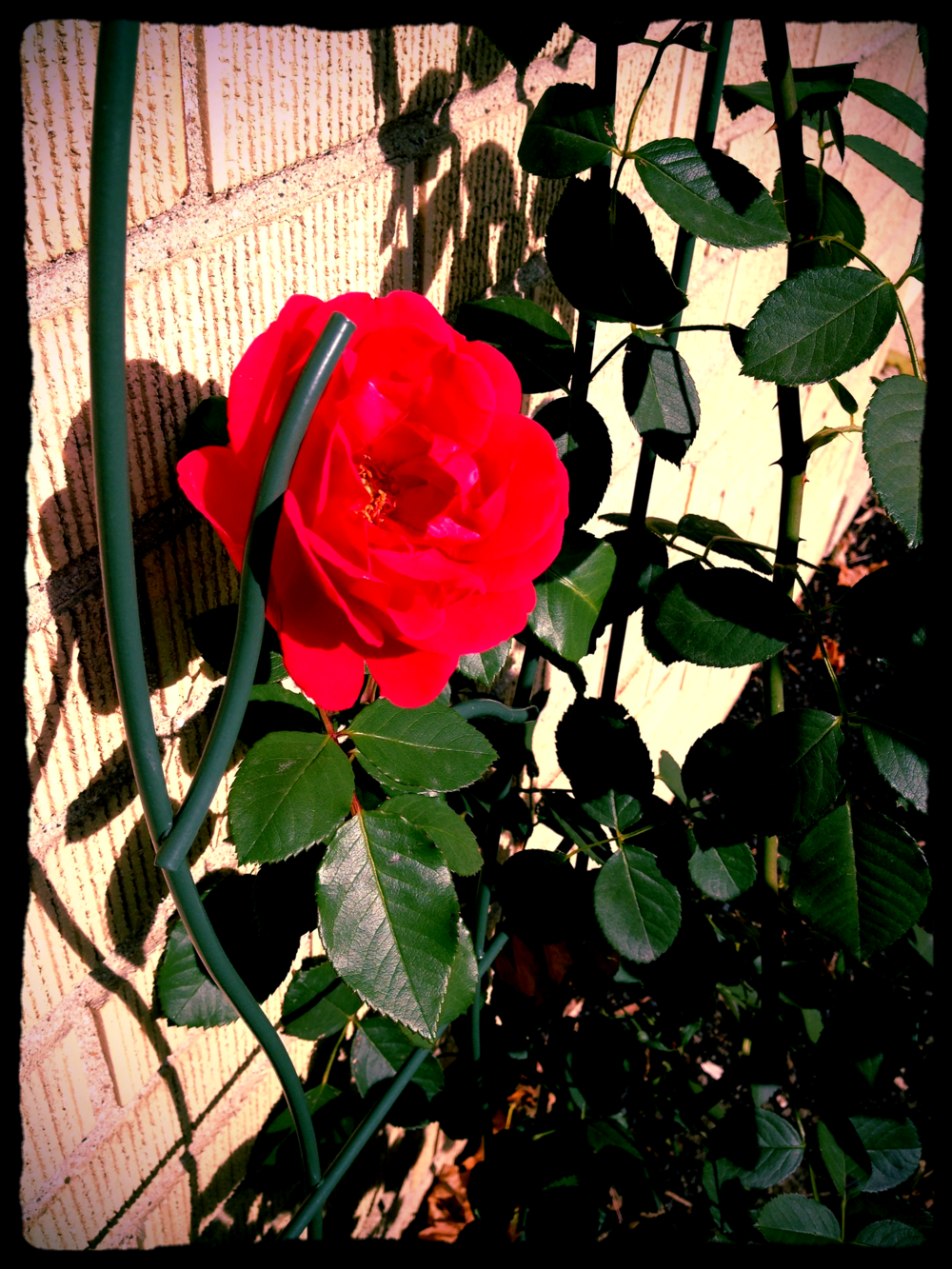 final rose of the season