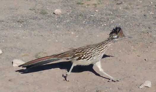 I will probably never again get a shot of a roadrunner which so closely approaches the platonic ideal.