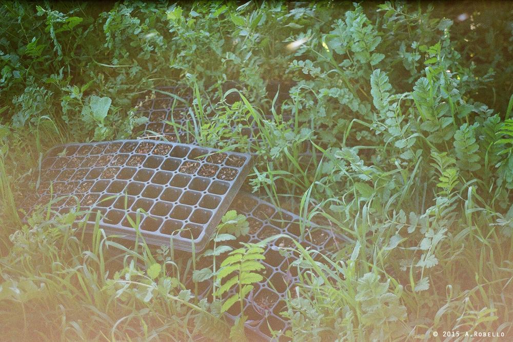 ROLL1ivylaneNOBORDER2015(seedlingsinwait).jpg