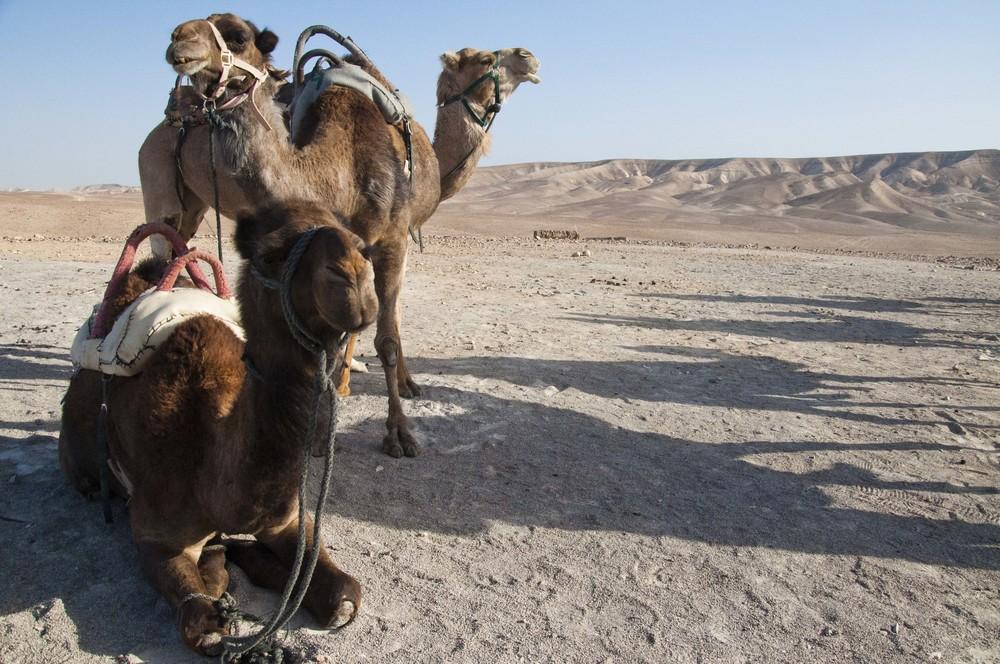 cameltrio.jpg