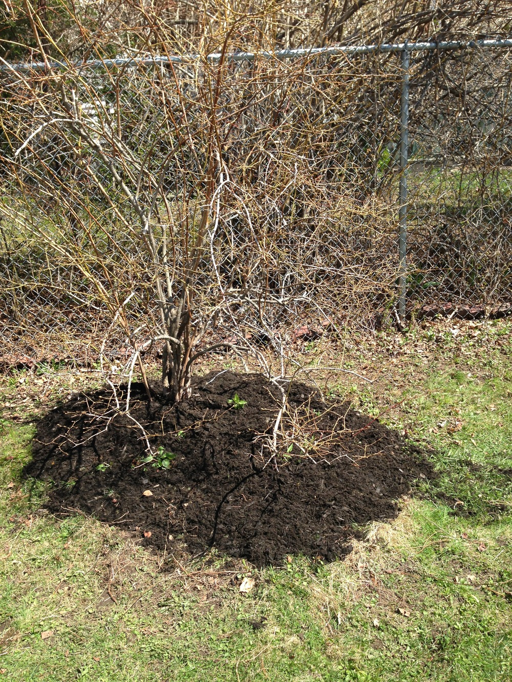 Blueberry bush pruned and mulched