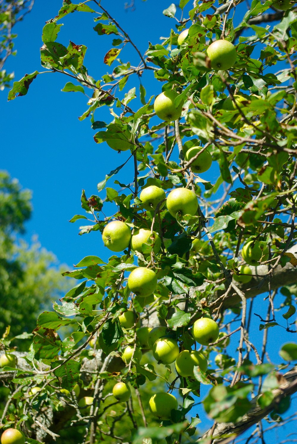 Crab Apples at Fore River Sanctuary