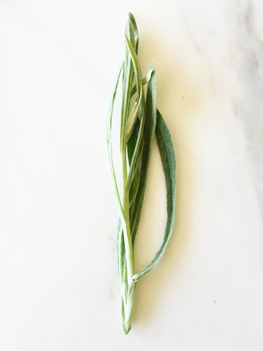 Pseudognaphalium beneolens; Fragrant Everlasting
