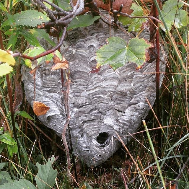 No, not a scary mask but a wasps' nest built on - rather than fallen to - the ground of neighbour Gayle and Genevieve Myers' property here in Sandy Cove (apparently, says local Nova Scotian lore, an indicator of a snow-easy winter).