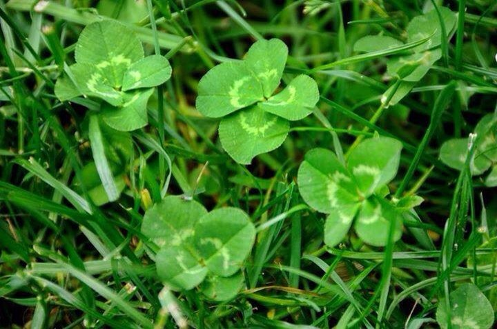 The Truth About Clover In Defense Of Plants