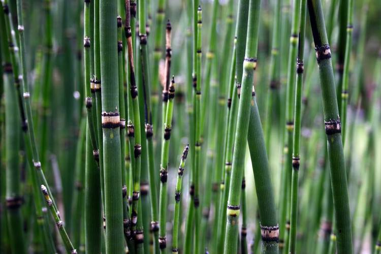 Ancient Equisetum In Defense Of Plants
