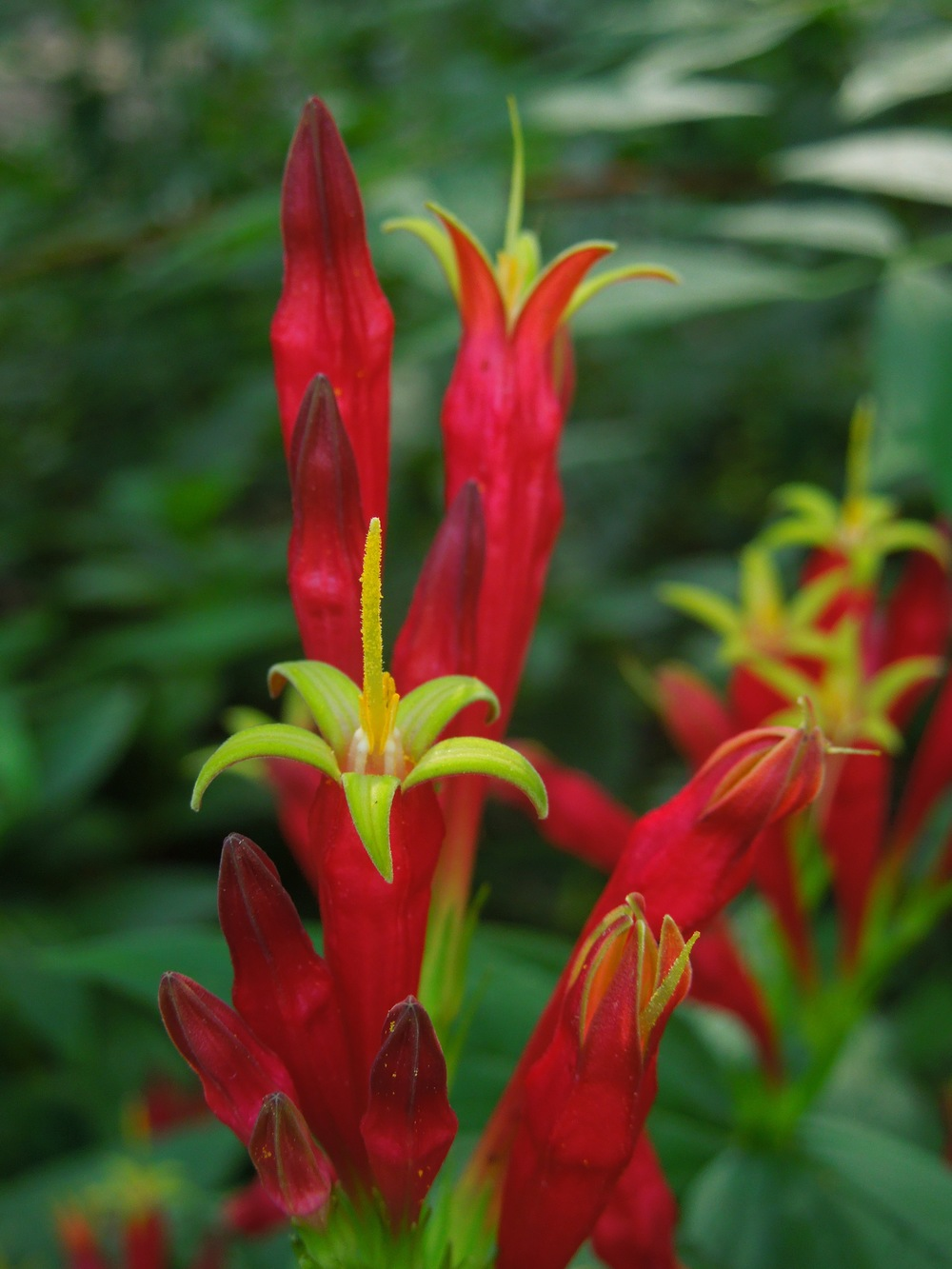 Indian pink ( Spigelia marilandica)