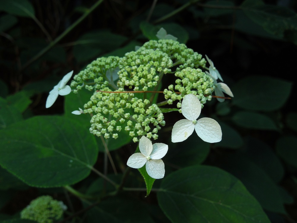 Smooth hydrangea ( Hydrangea arborescens )