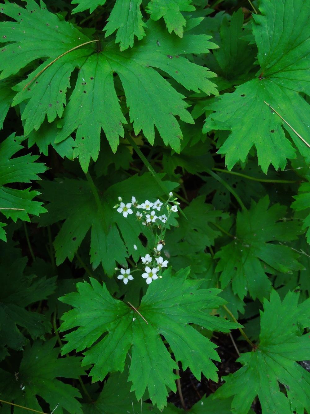 Brook saxifrage ( Boykinia aconitifolia )