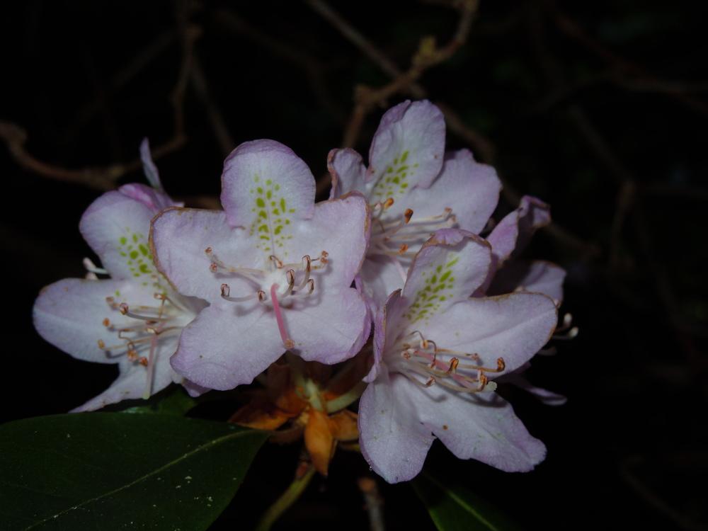 Carolina rhododendron ( Rhododendron carolinianum )