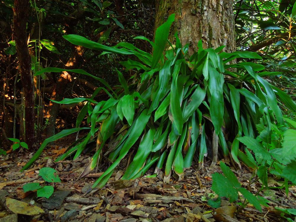 Fraser's sedge ( Cymophyllus fraserianus )