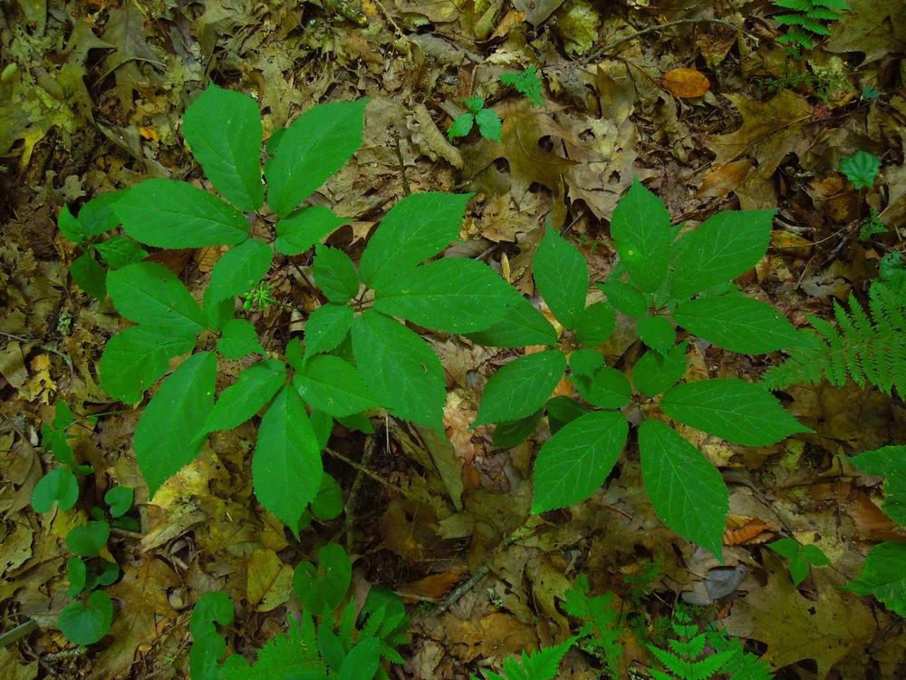 American ginseng ( Panax quinquifolius )