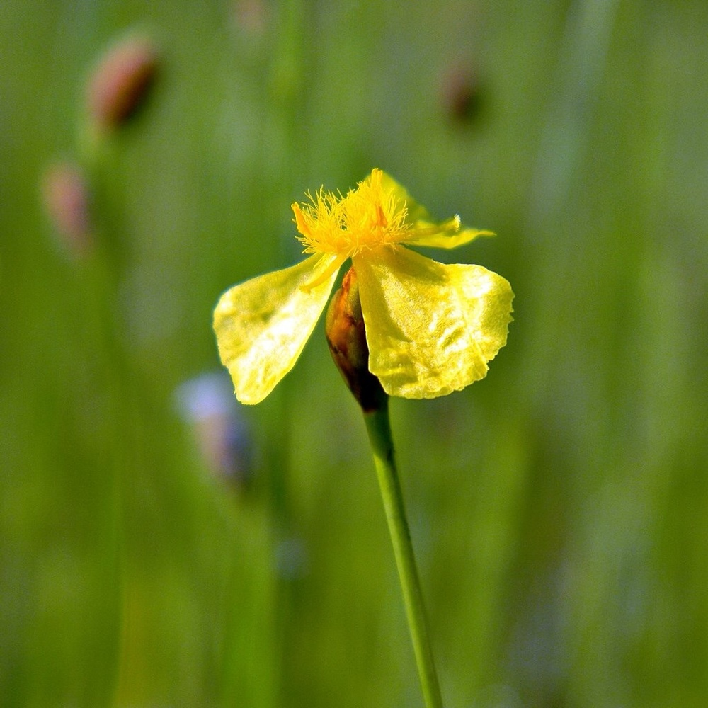 Yellow Eyed Grass In Defense Of Plants