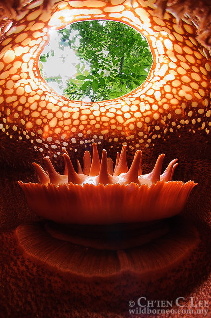 "A view from the inside of another species of Rafflesia - Rafflesia tuan-mudae. The strangely spiked ""disk"" in the center is the column, which houses the reproductive organs.  Photo by Ch'ien C. Lee"