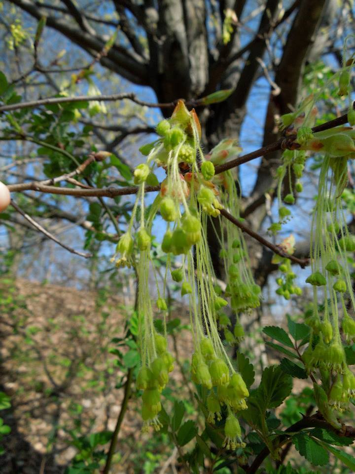 Though Many Of You May Be Cursing This Fact, In The Temperate Regions Of  The North, Wind Pollinated Trees Are Bursting Into Bloom. Their Flowers  Arenu0027t Very ...