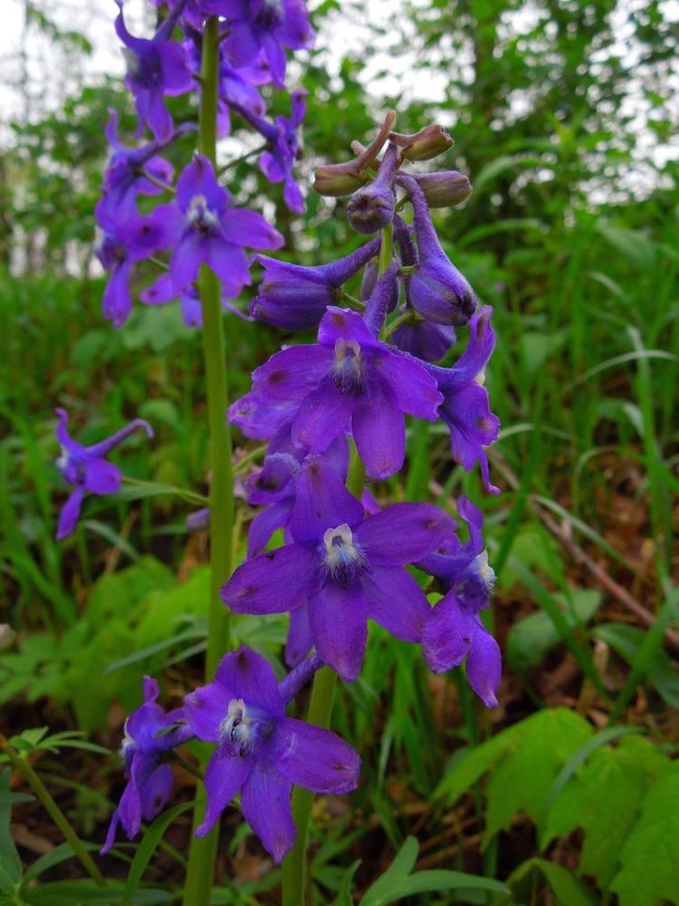 dwarf larkspur in defense of plants