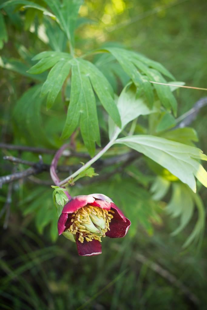 California peony ( Paeonia californica )