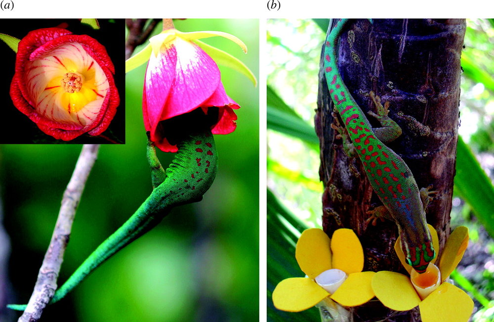 Phelsuma geckos visiting the flowers of  Trochetia blackburniana  (left) and flower models (right). Hansen et al. 2006