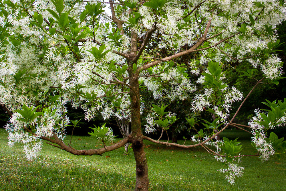The fringe tree (Chionanthus virginicus)