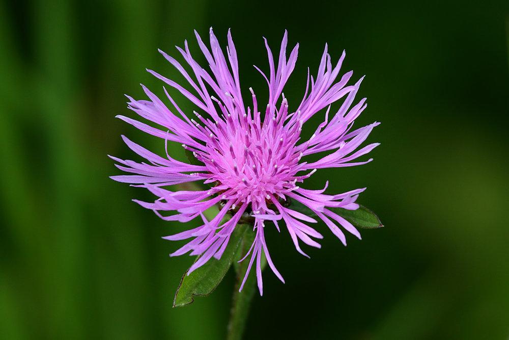 Spotted Knapweed ( Centaurea maculosa )