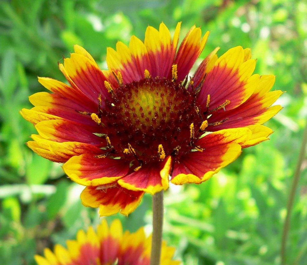 Blanketflower ( Gaillardia grandiflora )