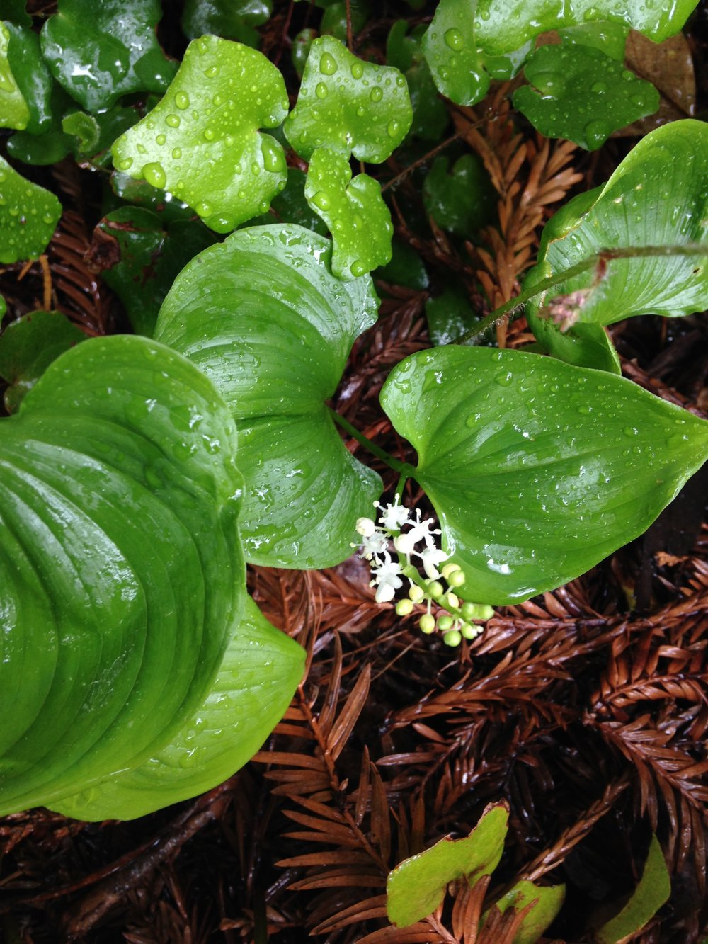 False Lily of the Valley (Maianthemum dilatatum)