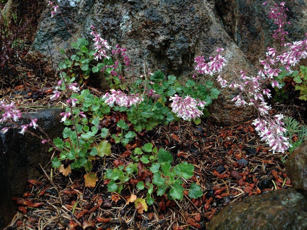 Shaggyhair Alumroot (Heuchera hirsutissima)