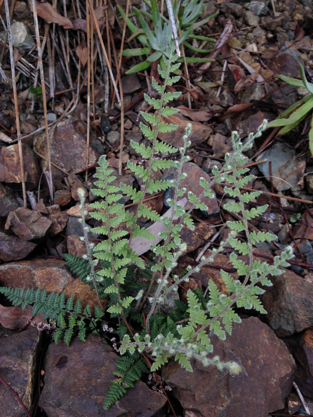 Lip Fern (Myriopteris spp.)