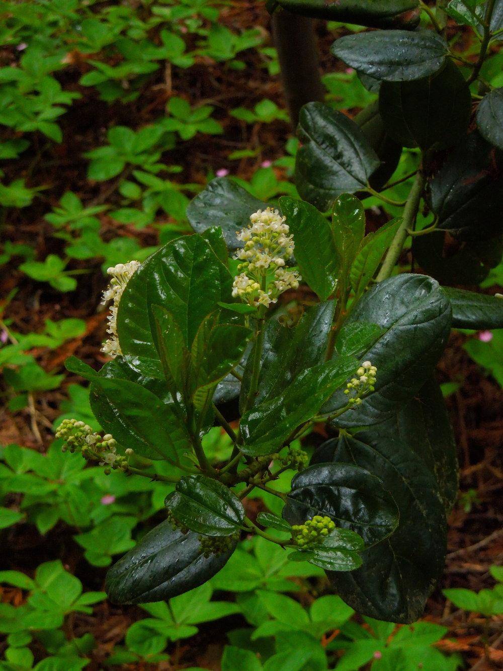 Red Root (Ceanothus velutinus)