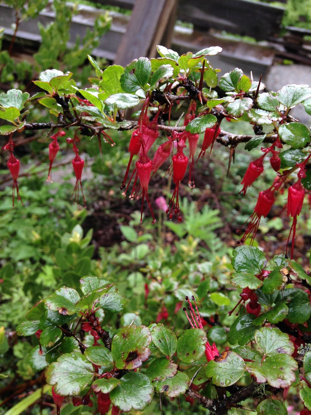 Fuschia-Flowered Gooseberry (Ribes speciosum)