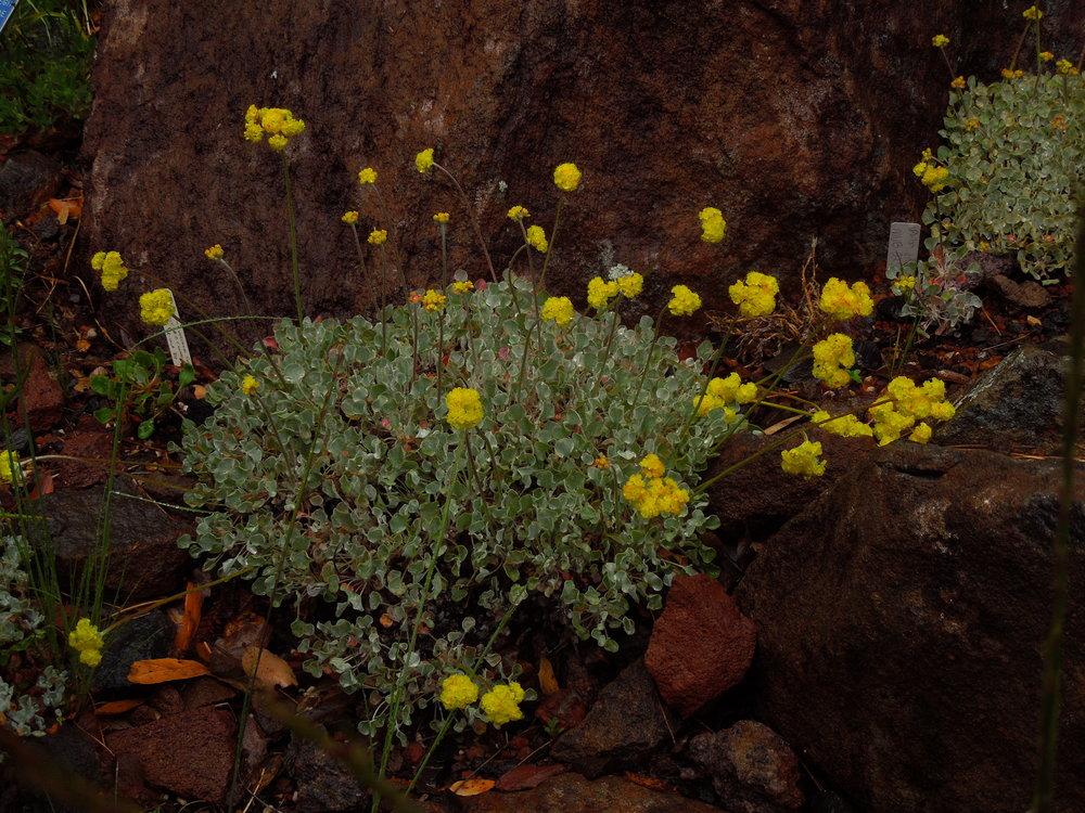 Buckwheat (Eriogonum sp.)