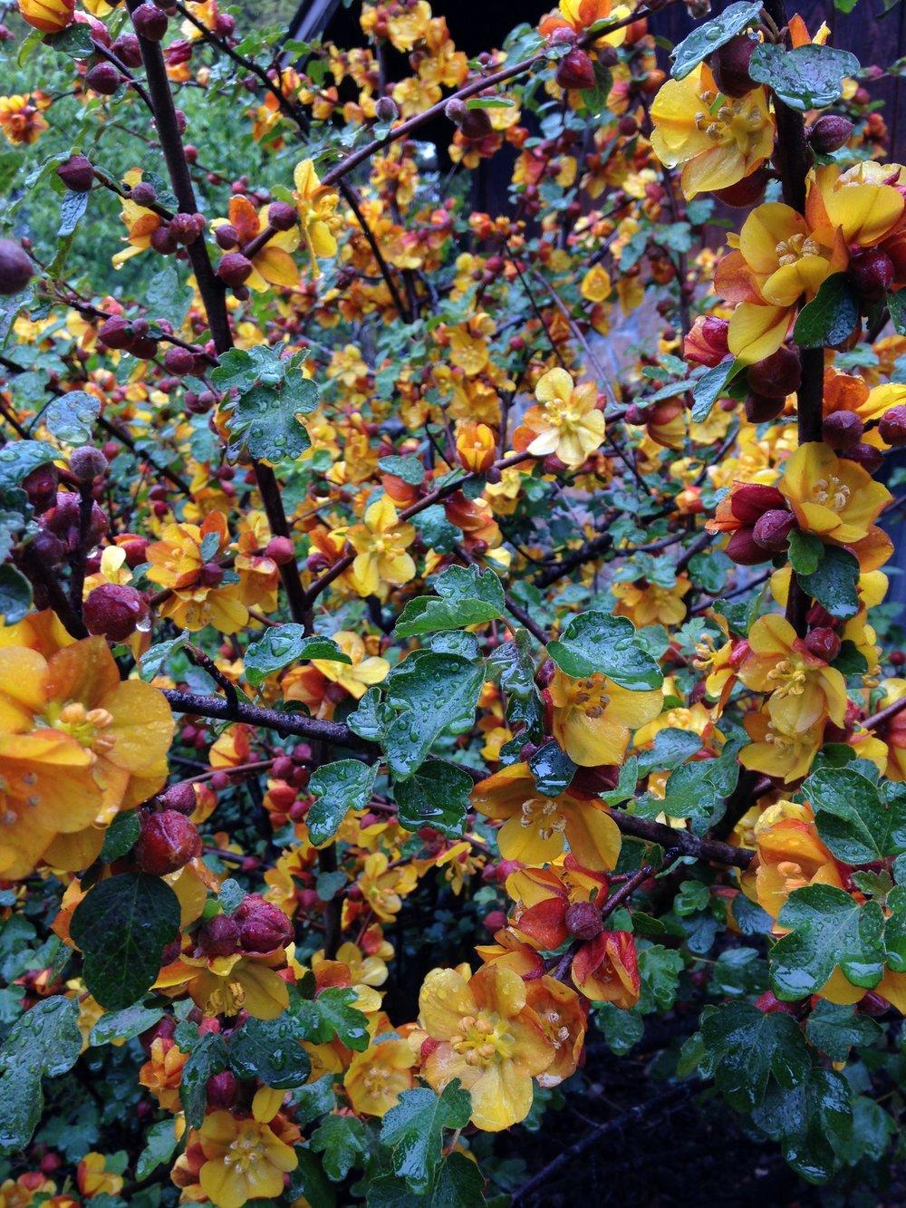 Pine Hill Flannelbush (Fremontodendron decumbens)