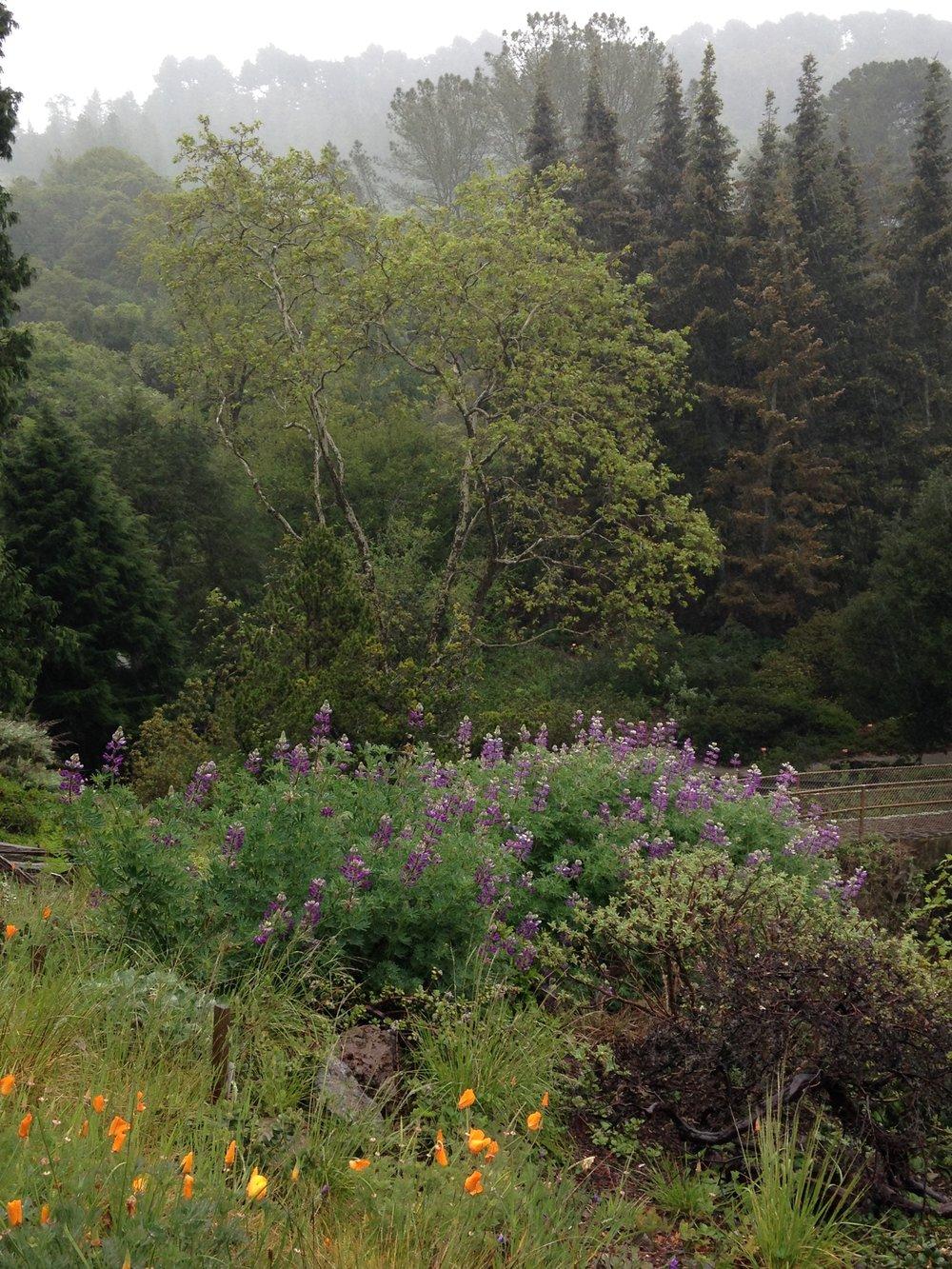Cobb Mountain Lupine (Lupinus sericatus)