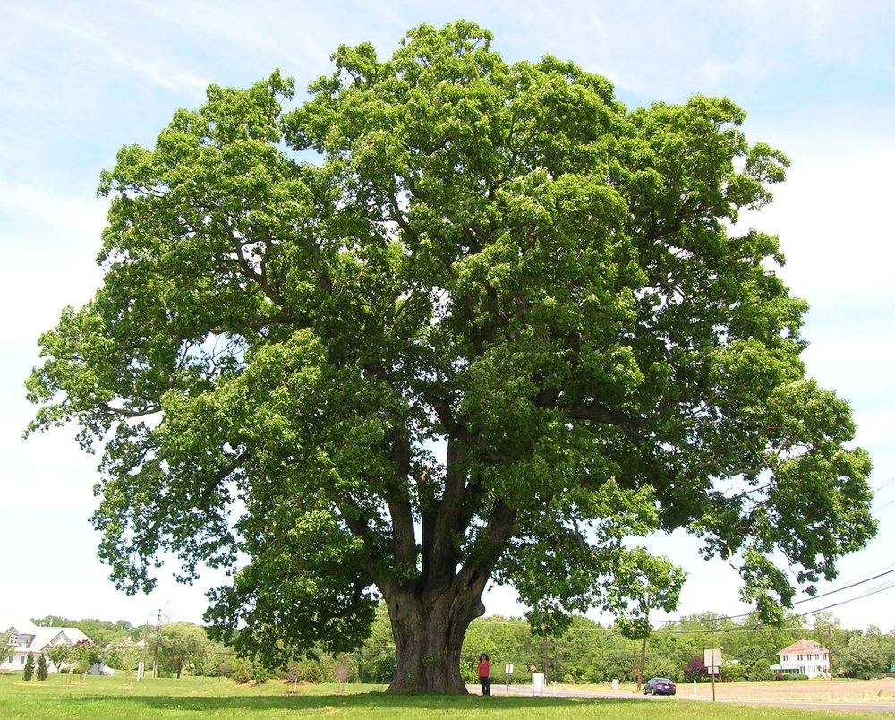 Keeler_Oak_Tree_-_distance_photo,_May_2013.jpg