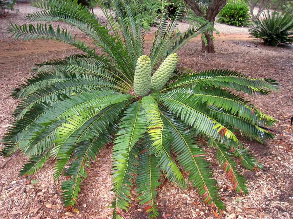 Encephalartos_turneri_-_Koko_Crater_Botanical_Garden_-_IMG_2328.JPG