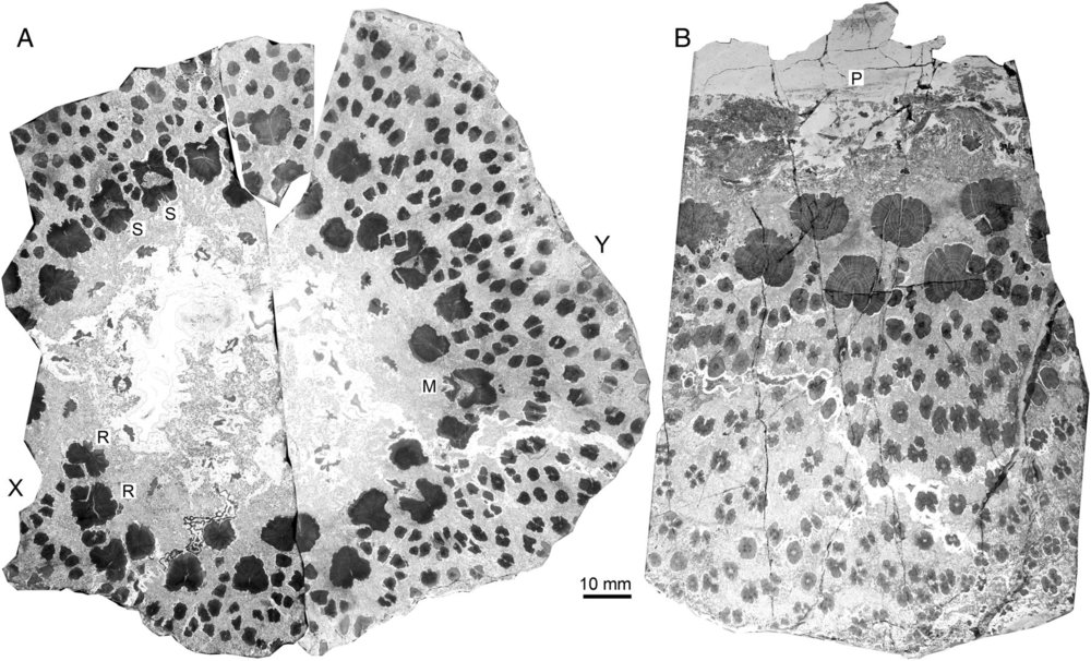 A cross section of a Cladoxylopsid trunk showing the hollow center, individual xylem strands, and the network of connective tissues.