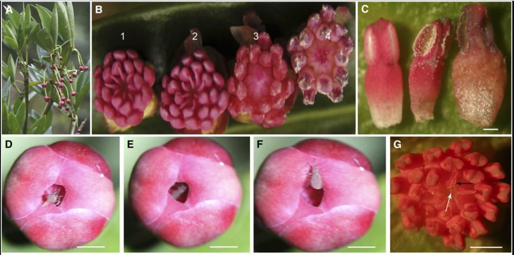 Floral morphology of and interaction between midge and their larvae (white arrows) in  Illicium dunnianum